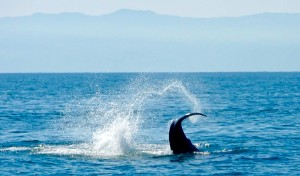 Some of the worlds best whale watching is available in the bay of Banderas, where visitors to Vallarta vie for the elusive whale breach. photo (c) Nathan DePetris